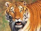 El tigre Roberto